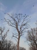 017 Vraní strom