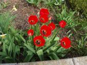 Jaro s tulipány 1