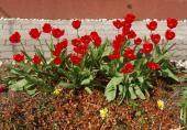 Jaro s tulipány 2