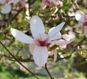 Magnolie v parku Michalov