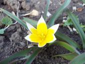 Mini tulipán