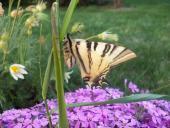 Motýl u květin