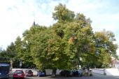Památný strom u zámku