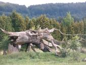 061 Popravčí dub - Velké Losiny