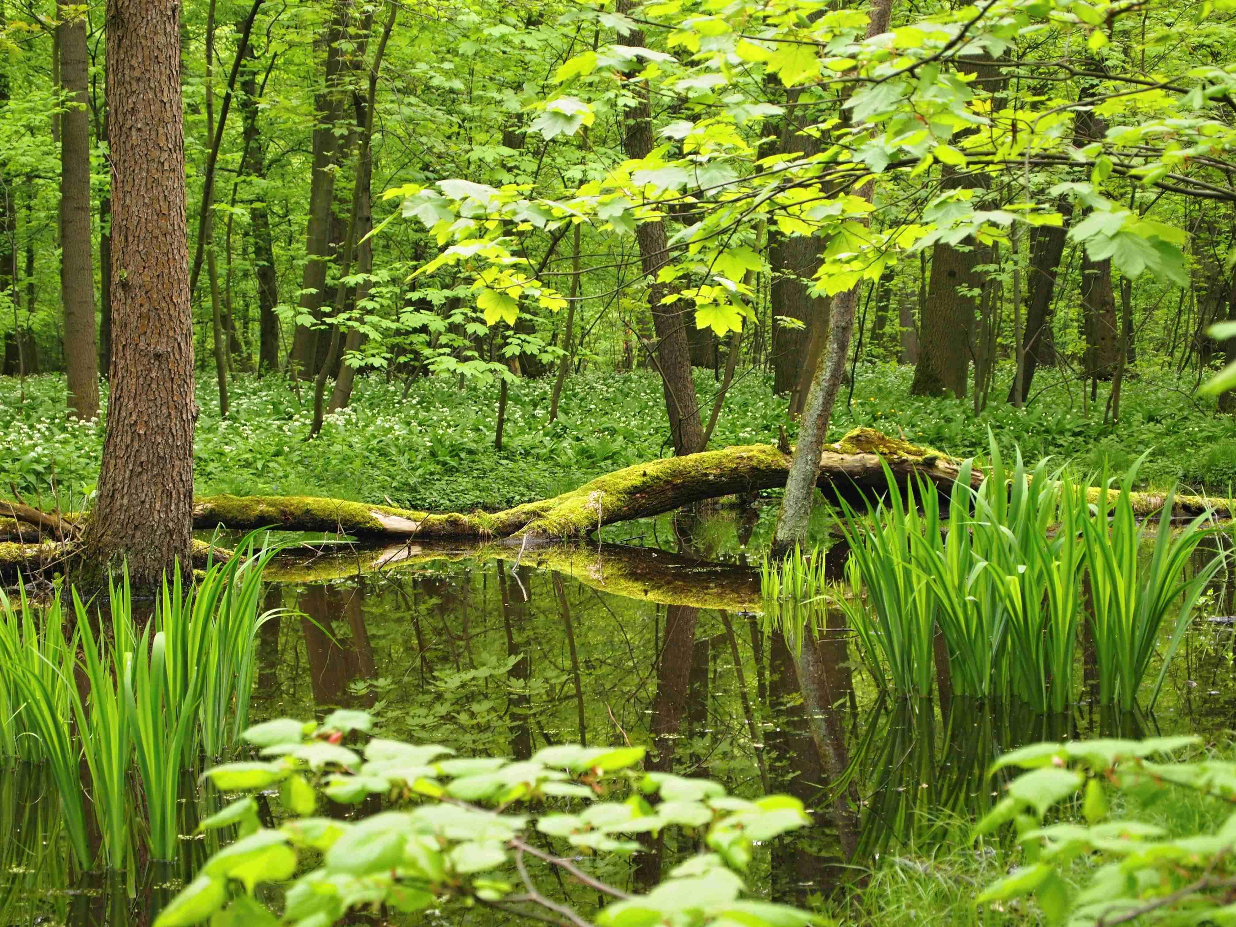 Jarní Žebračka, obrázek se otevře v novém okně