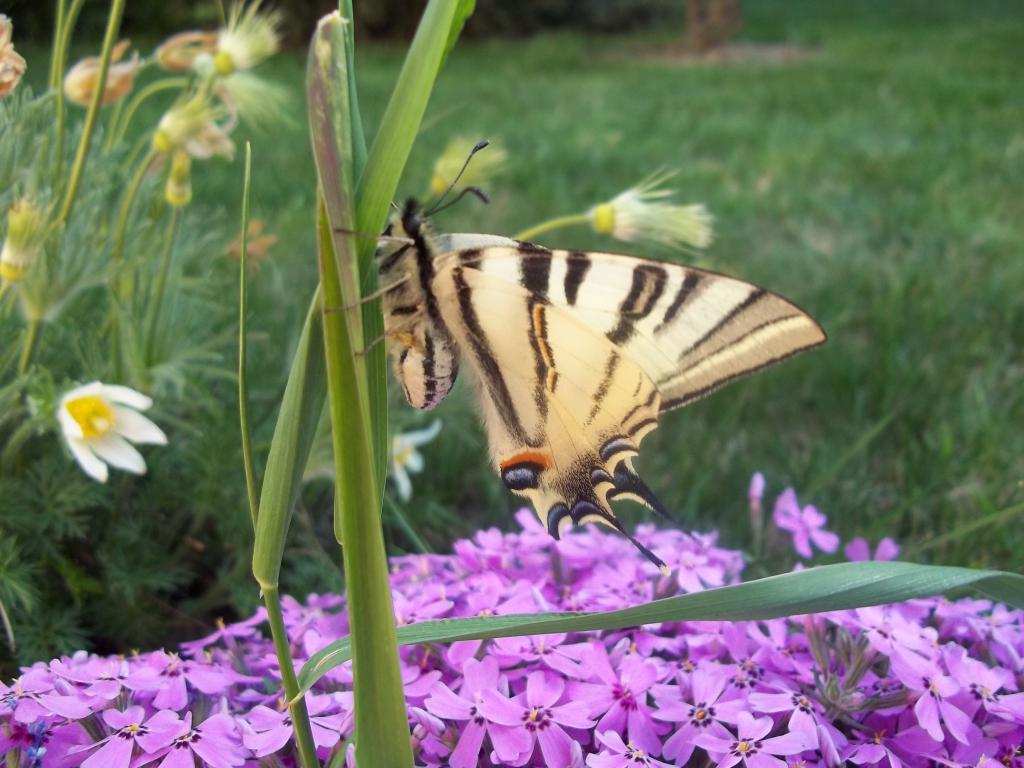 Motýl u květin, obrázek se otevře v novém okně
